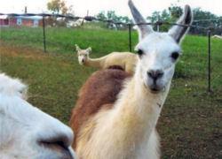 double_llama_bombt.jpg