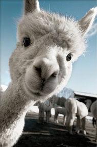 llama_face.jpg