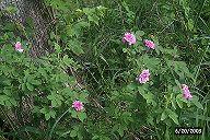 rose5t.jpg