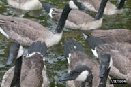 canada-geese6t.jpg