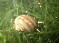 Local_snail_from_Steenburg_laket.jpg