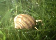 Local_snail_from_Steenburh_laket.jpg