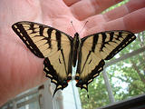 2006 bfly - Swallowtail butterfly