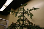 monkey_puzzle_tree_5t.JPG