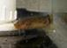 three_inch_electric_catfish_2t.JPG