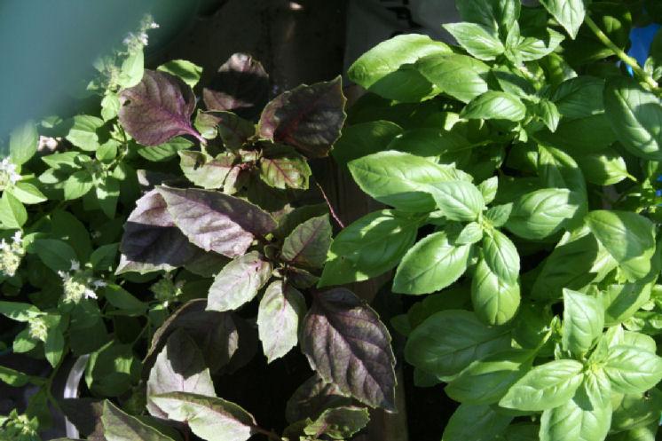 lime_purple_green_basilst.jpg