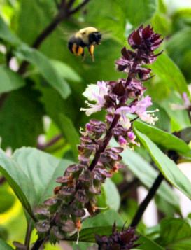 bumblebee_vietnmese-basil-2t.jpg