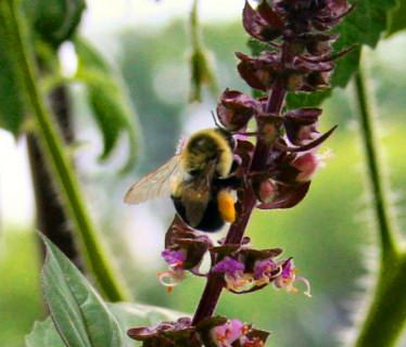 bumblebee_vietnmese-basil-3t.jpg