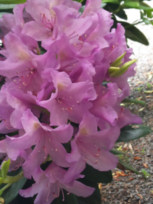 Rhododendront.jpg