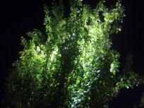 poplar-nightt.jpg