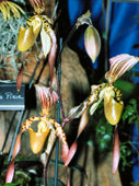 southern_ontario_orchid_society_show-f_1992x.jpg